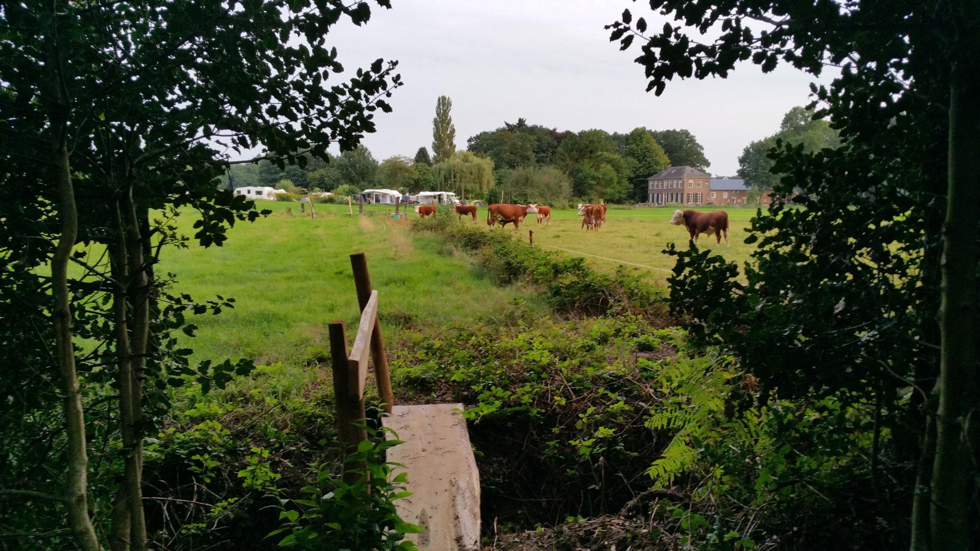 Onze Hereford koeien met de accommodatie en de camping op de achtergrond